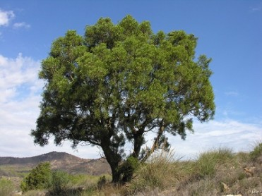 1st to 31st October, Cartagena Cypress tree exhibition in the regional park of Calblanque